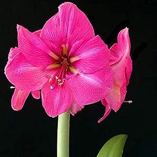 Amaryllis Bulb, Hippeastrum Bulb, It is The Bulb, Not The Hippeastrum Seed - 1 Pcs/Bag