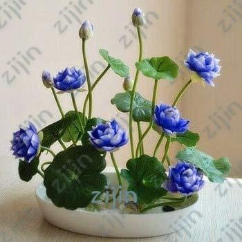 Bonsai Blume Lotusblume für den Sommer Bowl Lotus Töpfe Bonsai Gartenpflanzen 5pcs / Bag: Armee-Grün