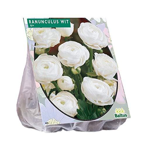 Ranonkel, Wit 15 Stück Ranunkel weiß Blumenzwiebel