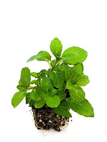 Pfefferminze Jungpflanze   kleine Pfefferminze Pflanzen   echte Pfefferminze   Aromatisch   Winterhart   Mentha × piperita   ⌀3,5cm Wurzelballen (6)