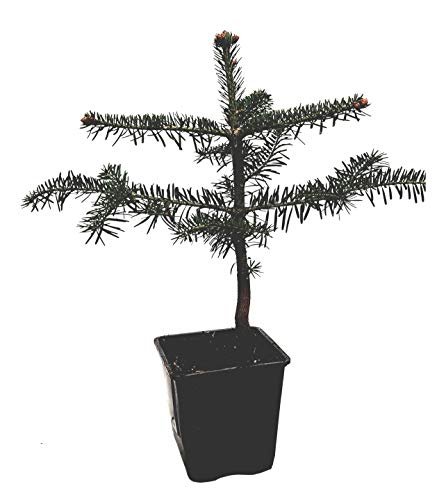 Seedeo® Nordmanntanne (Abies Nordmanniana ambrolauri) Pflanze ca. 25 cm