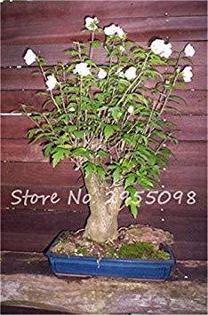 Virtue Zimmer Zierpflanze Mini Bonsai Hibiscus Samen, seltene Topfblumensamen, mehrjährige Blumen Garten Gewächshaus Pflanze 100 Stück 20