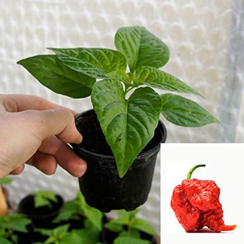 Bio Chilipflanze Carolina Reaper | schärfste Chilisorte der Welt