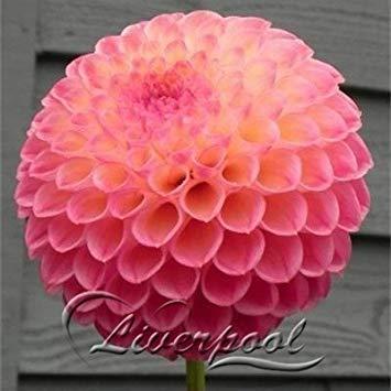 Potseed 25 Arten Dahlia Blumensamen Eine Packung 50 Samen leicht Wachstum DIY dekorative Garten 50Pink Pompon-Dahlie