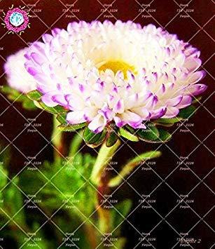Vistaric 100 UNIDS Aster semillas aster flor bonsai semillas de flores del crisantemo del arco iris flores perennes jardín de su casa patio de plantas: Amazon.es: Jardín