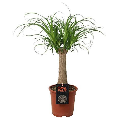 Zimmerpflanze von Botanicly – Elefantenfuß – Höhe: 60 cm – Beaucarnea