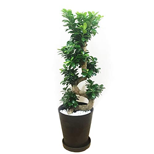 昇り龍樹形 ガジュマルの木 多幸の木 黒色セラアート鉢 曲がり S字 昇り竜 観葉植物 本物 インテリア ガジュマル