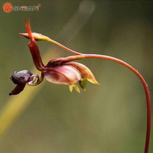 Nouvelle arrivée Flying Duck Graines d'orchidée Plantes vivaces fleurs en pot Plantes Intéressant 100 particules / lot