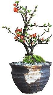 盆栽妙 ミニ長寿梅 久庵手作りつぼ鉢 樹幅10cm×高さ9cm 母の日 人気 縁起の良い プレゼント 四季咲き はじめて