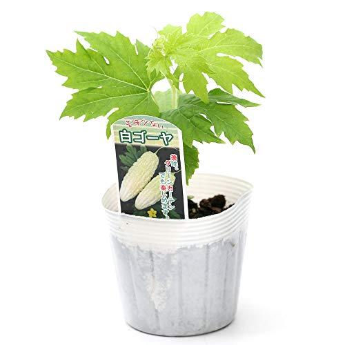 (観葉植物)緑のカーテン 野菜苗 白ゴーヤ 3号(3ポット) 家庭菜園