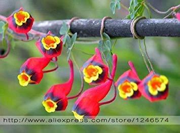 Fash Lady Gartenpflanze 10 stücke Frische Bunte Tropaeolum majus Kapuzinerkäse Samen Einfache Pflanzen hängenden Pflanzen