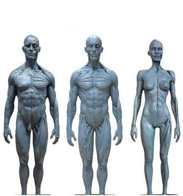 Human Anatomy Figure Modèle - 11 Pouces Femme et Homme Anatomie Figure Muscle & Male os Modèle - PU Matière modèle Peinture Anatomical Squelette Humain - pour référence pour Les Artistes