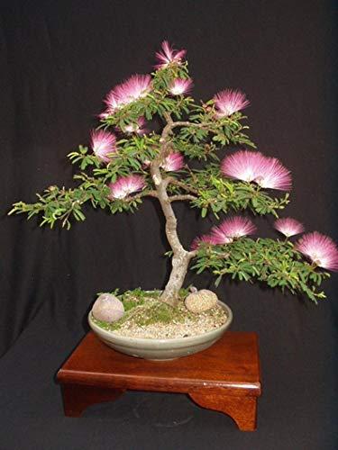 UEYR Albizia Julibrissin Mimosa Bonsai Rosa 10 Semillas Raras