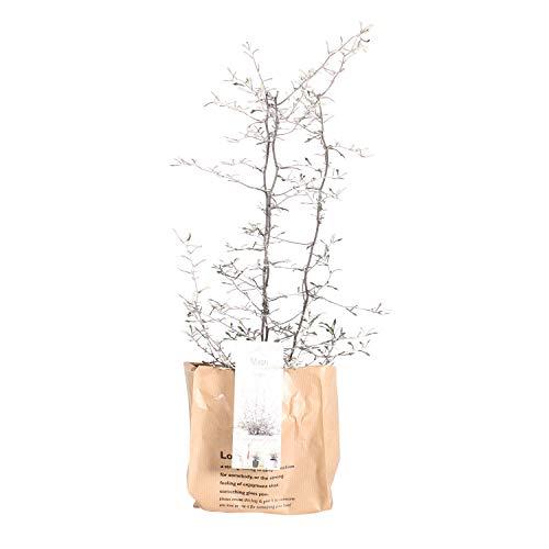 BOTANICLY | Gartenpflanze | Corokia Cotoneaster | 30 cm | Set aus 2 Pflanzen - 2