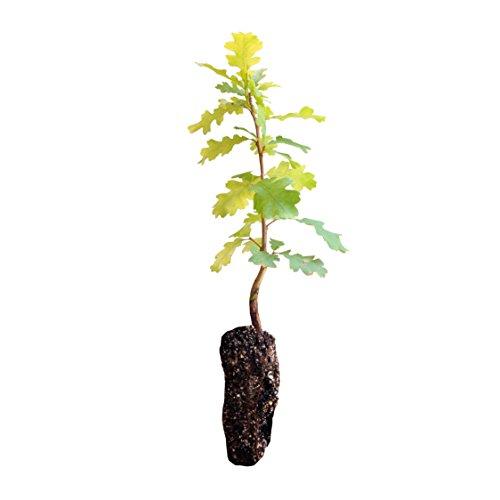 Valley Oak   Live Tree Seedling (Medium)   The Jonsteen Company