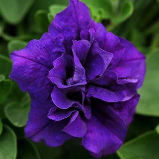 Double Wave Blue Petunia Seeds Seed Pack