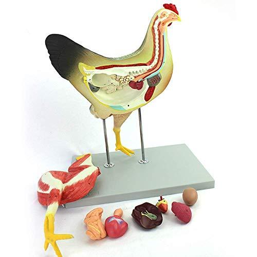 Modelo Educativo Modelo anatómico de Pollo Modelo anatómic