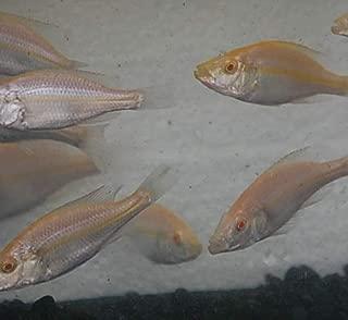 Quinn's Fins- Albino Dimidiochromis compressiceps- Albino Malawi Eye Biter