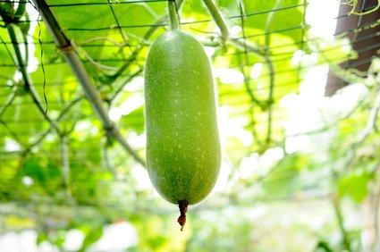 Ash Gourd Wachskürbis Wintermelone Benincasa hispida TCM 10 Samen