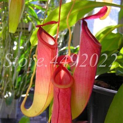 AGROBITS 300 pièces rayées Nepenthes Bonsai Manger moustiques Plantes carnivores Pitcher Tropical Catch Jardin des insectes pour Flower Pot en pot: 2