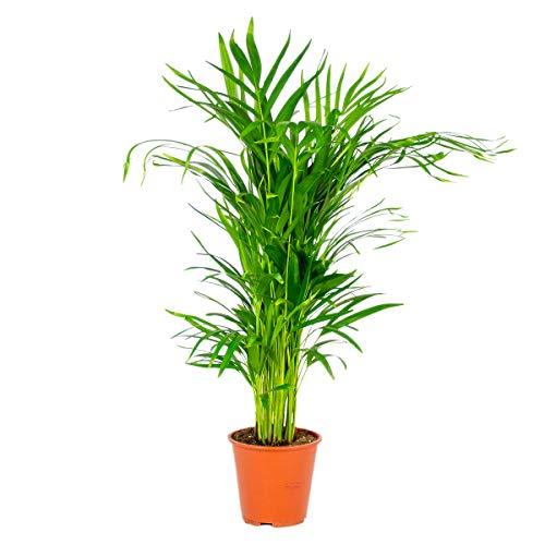 Dypsis | Areca-Palme pro Stück - Zimmerpflanze im Aufzuchttopf cm19 cm - ↕90-100 cm
