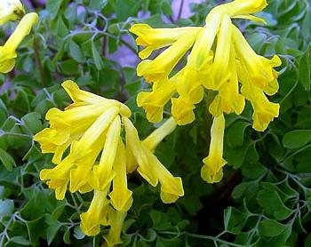 Gelbe Herz-20 Samen - Corydalis lutea -Schattieren