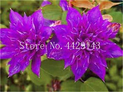 ShopMeeko SEEDS: 100 Stück/bag Bonsai es Bonsai Pflanze, Innen/Außen Topfpflanze für Hausgarten-Dekor: 20
