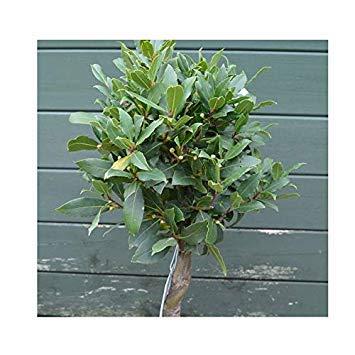 SANHOC Samen-Paket: Laurus nobilis 20cm Stiel Halbstamm 15cm Topf SizeSEED