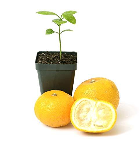 """Yuzu Citrus Tree Starter Plant. Citrus Junos. 2"""" - 4"""""""