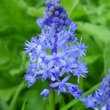 Potseed - Amethyst-Blaustern Seeds