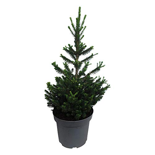 Hellogreen Zimmerpflanze - Kleine Mini-Weihnachtsbaum - Picea Abies Wills Zwerg - Zwergkonifere - Höhe: 50 cm - Luftreinigend - Easy to Care