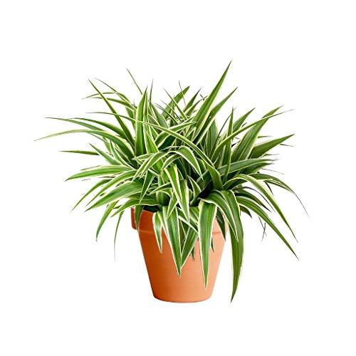 Chlorophytum con Maceta de Cerámica Planta Lazo de Amor o Cinta