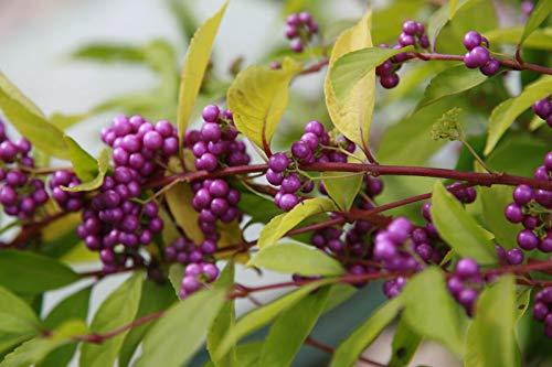 Schönfrucht Callicarpa bodinieri giraldii ´Profusion´ Pflanze 35-40cm Rarität