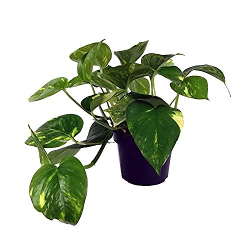 Epipremnum Aureum Planta Natural Potus, Pothos o Potos