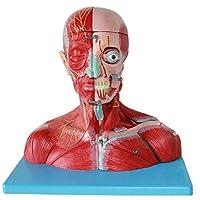 血管、神経、脳を備えた教育モデルの頭と首、プラスチックの人体筋肉解剖学的モデル学校の教育援助のための人体解剖学科学モデル