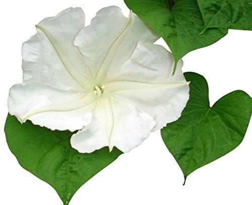 White Moonflower Vine Seeds - Climbing Vine Up to 15'