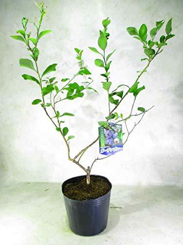 ブルーベリー ラビットアイ系 ガーデンブルー 苗木 5号ポット 全高:約60�p