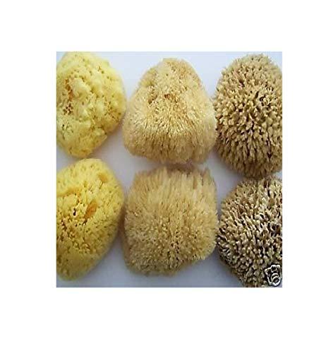 Peigne en nid d'abeille naturel Hippospongia Communis - Éponge de mer naturelle 5,5-6,0