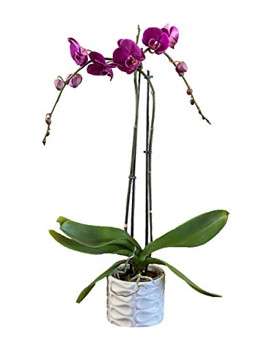 Potted Phalaenopsis Orchid |