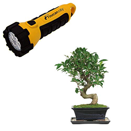 Toucan City LED Flashlight and Brussel's Bonsai Golden Gate Ficus (Indoor) CT-2006GGF