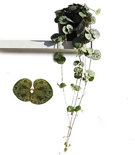 Leuchterblume, hängend, (Ceropegia woodii ssp. woodii), sehr pflegeleichte, hängende Zimmerpflanze (im 8cm Topf)