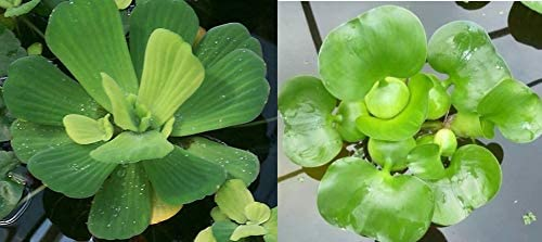 Water Lettuce + Hyancinth Bundle - Pond San Quantity limited Diego Mall Plan Floating Live