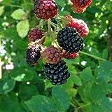 Brombeere 'Black Satin' - Rubus fruticosa 'Black Satin' - Stachellos