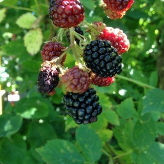 Brombeere 'Black Satin' - Rubus...