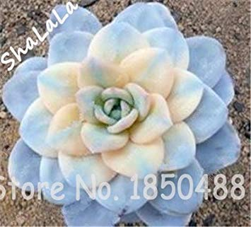 Virtue 100 Garten-Gewächshaus-Kaktus-Samen-seltene saftige beständige Kraut-Anlagen, Bonsais-Topf-Blumensamen, Innenanlage absorbieren Formaldehyd 8