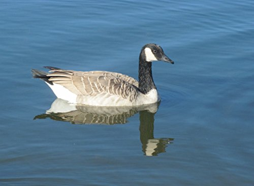 Canada goose at the park (English Edition)