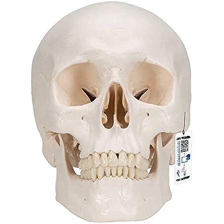 3B Scientific A20 Crâne classique modèle, en 3 parties + logiciel d'anatomie gratuit - 3B Smart Anatomy