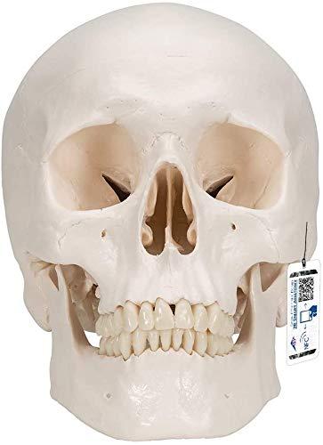 3B Scientific Menschliche Anatomie - Klassik-Schädel mit magnetischen Verbindungen, 3-teilig + kostenloser Anatomiesoftware - 3B Smart Anatomy