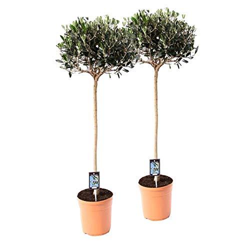 Mein schöner Garten Olivenbaum mit Stamm - 2er Set - Olea europaea - Olivenbaum - Liefergröße: ca. 60 cm - winterhart - pflegeleicht
