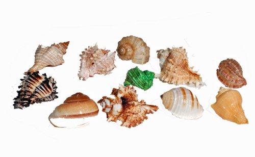 Hermit Crab Shell - Large (12pc Bulk Bag
